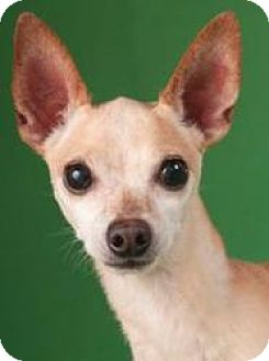 Chihuahua Mix Dog for adoption in Chicago, Illinois - Peppy