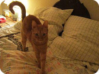 Domestic Shorthair Cat for adoption in Seminole, Florida - Nutmeg
