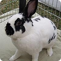 English Spot Mix for adoption in San Clemente, California - GALACIO