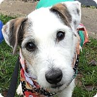 Adopt A Pet :: Spot - Fairfax, VA
