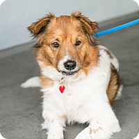 Adopt A Pet :: Koda Bear - Los Angeles, CA