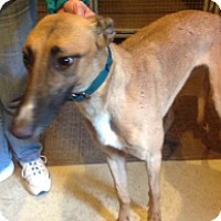 Adopt A Pet :: Will Penny Ann - Gerrardstown, WV