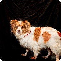 Papillon/Terrier (Unknown Type, Small) Mix Dog for adoption in Inglewood, California - Lady Gaga