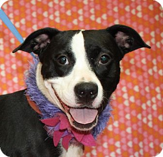 Border Collie/Pit Bull Terrier Mix Dog for adoption in Jackson, Michigan - Madison