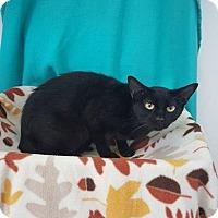 Domestic Shorthair Cat for adoption in Mt. Vernon, Illinois - Sisi