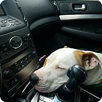 Staffordshire Bull Terrier Mix Dog for adoption in Media, Pennsylvania - Luca