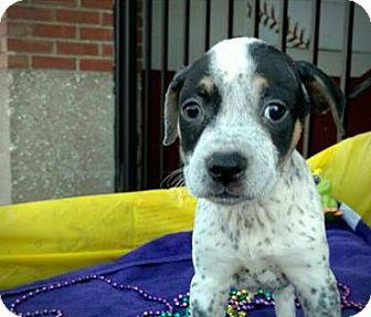 Blue Heeler/German Shepherd Dog Mix Puppy for adoption in Des Moines, Iowa - Gator