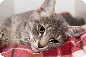 Domestic Mediumhair Kitten for adoption in Lowell, Massachusetts - Woobie