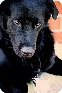 Flat-Coated Retriever Mix Dog for adoption in New Canaan, Connecticut - Justice