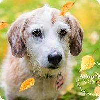 Adopt A Pet :: Honey - Toronto, ON