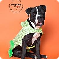 Mastiff Mix Dog for adoption in Visalia, California - Major