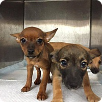 Adopt A Pet :: Isabel - Danbury, CT