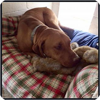 Labrador Retriever/Vizsla Mix Dog for adoption in Garber, Oklahoma - Whyatt