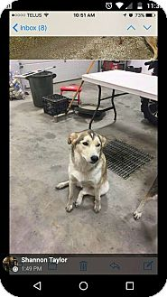 Siberian Husky/Nova Scotia Duck-Tolling Retriever Mix Dog for adoption in Cavan, Ontario - Meeka