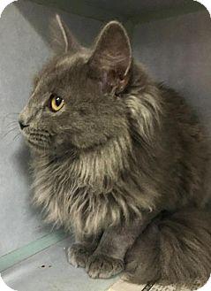 Maine Coon Cat for adoption in Manteo, North Carolina - Mr. Fox
