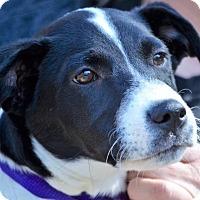 Labrador Retriever/Spaniel (Unknown Type) Mix Puppy for adoption in Brattleboro, Vermont - Hap ~ In Vermont 12/03!