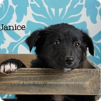 Australian Shepherd Mix Puppy for adoption in Denver, Colorado - Janice