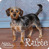 Dachshund/Yorkie, Yorkshire Terrier Mix Dog for adoption in Valparaiso, Indiana - Rubie