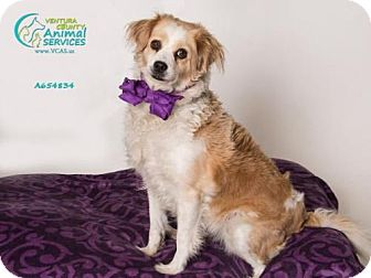 Cocker Spaniel Mix Dog for adoption in Camarillo, California - *TIFFANY
