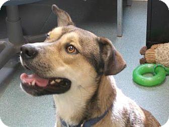 Rhodesian Ridgeback/Shepherd (Unknown Type) Mix Dog for adoption in Newton, Kansas - Kain