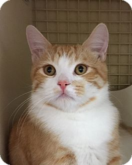 Domestic Shorthair Cat for adoption in Meridian, Idaho - Presley