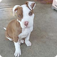 Adopt A Pet :: Doc Holiday - Rancho Cucamonga, CA