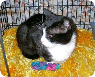 Domestic Shorthair Cat for adoption in Colmar, Pennsylvania - Sheila