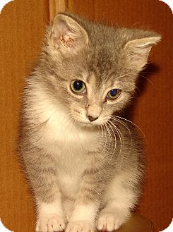 Domestic Shorthair Kitten for adoption in Florence, Kentucky - Evinrude