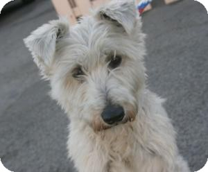 Schnauzer (Miniature) Dog for adoption in Canoga Park, California - Lil Dude