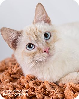 Domestic Shorthair Cat for adoption in Eagan, Minnesota - Raj