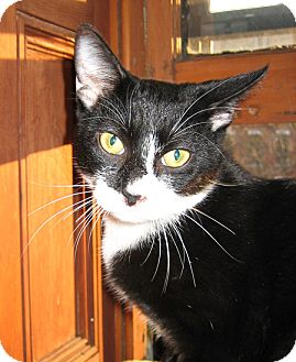 Domestic Shorthair Cat for adoption in Brooklyn, New York - Pablo