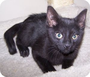 Domestic Shorthair Kitten for adoption in Colorado Springs, Colorado - K-Guffey2-Kendall