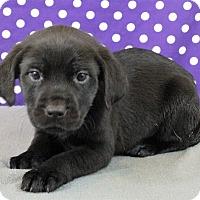 Adopt A Pet :: Chamomile - Starkville, MS