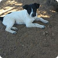Adopt A Pet :: Leonardo - Tucson, AZ