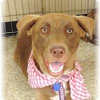 Adopt A Pet :: Godiva - Las Vegas, NV