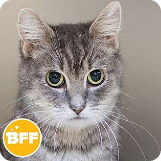 Domestic Shorthair Cat for adoption in Edmonton, Alberta - Petrie