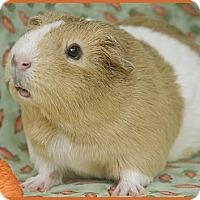 Adopt A Pet :: Ginger - Santa Barbara, CA