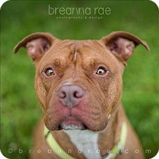 Pit Bull Terrier Mix Dog for adoption in Sheboygan, Wisconsin - Bruiser