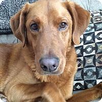 Adopt A Pet :: Brody - Nashville, TN