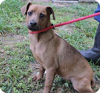 Dachshund/Feist Mix Puppy for adoption in Yardley, Pennsylvania - Samona B Lower fee
