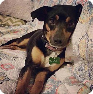 Miniature Pinscher Mix Dog for adoption in Glastonbury, Connecticut - Gidget-pendng