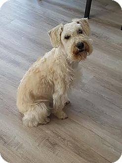 Schnauzer (Miniature)/Poodle (Miniature) Mix Dog for adoption in Lucknow, Ontario - Cooper-adoption pending