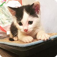 Adopt A Pet :: Kingsley - Old Bridge, NJ