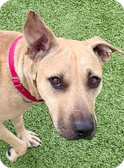 Black Mouth Cur Mix Dog for adoption in Whitestone, New York - Treasure