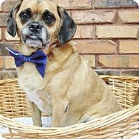 Pug/Beagle Mix Dog for adoption in Benbrook, Texas - Dodger