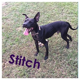 Labrador Retriever/Pit Bull Terrier Mix Dog for adoption in St. Francisville, Louisiana - Stitch