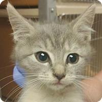 Adopt A Pet :: Dilute Calico - Lincolnton, NC
