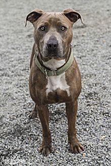 Pit Bull Terrier Mix Dog for adoption in Mooresville, North Carolina - Thelma (Thelma & Louise Litter