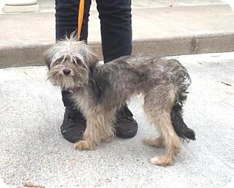 Yorkie, Yorkshire Terrier Mix Dog for adoption in Houston, Texas - Suzi