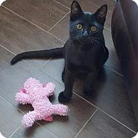 Adopt A Pet :: Lil Bear - ROSENBERG, TX